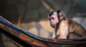 קוף יושב על ערסל